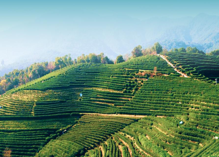Чайные плантации Лунцзин (в сезон)